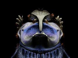 Levon Biss - Amazonian Purple Warrior Scarab